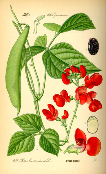 366px-Illustration_Phaseolus_coccineus0