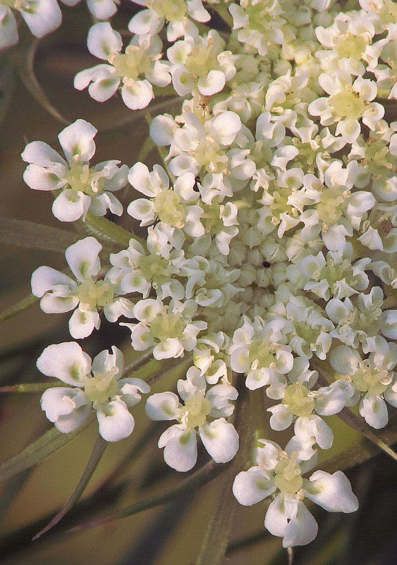 800px-Daucus_carota_flowers,_peen_'Napoli'_(1)